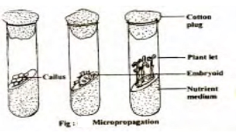Reproduction in Angiosperm : Micropropagation