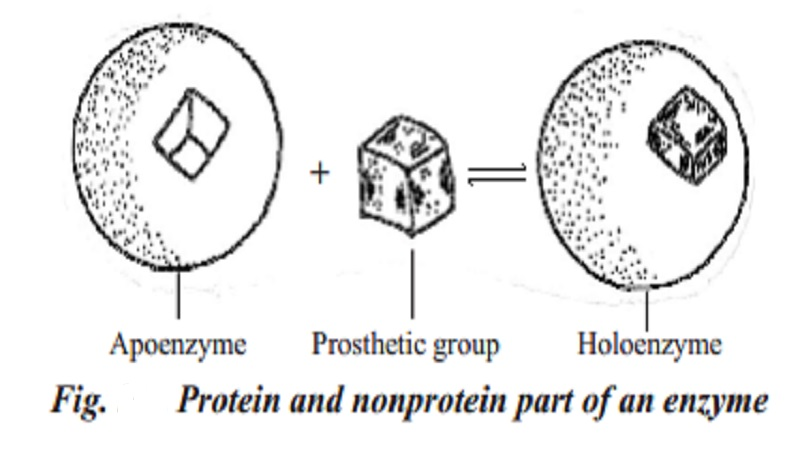 Enzymes : Classification, Properties of Enzymes