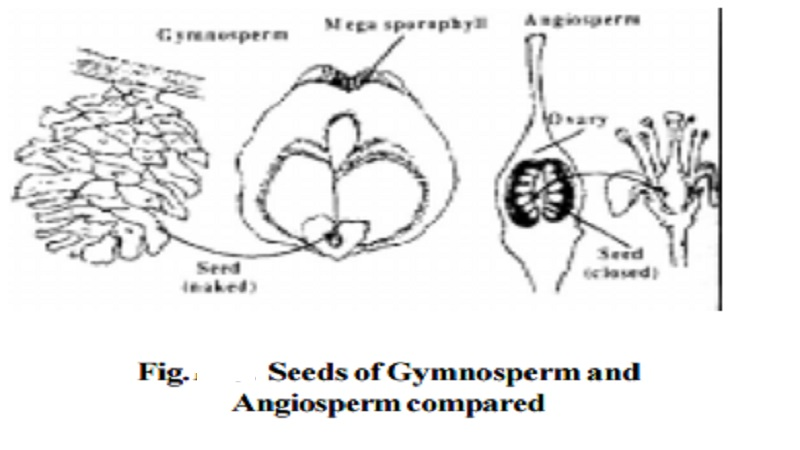 Classification and Characteristic of Spermatophytes(Gymnosperms)