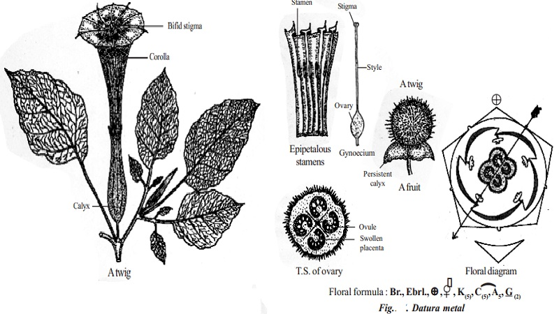 Botanical description and Economic importance of Datura metal