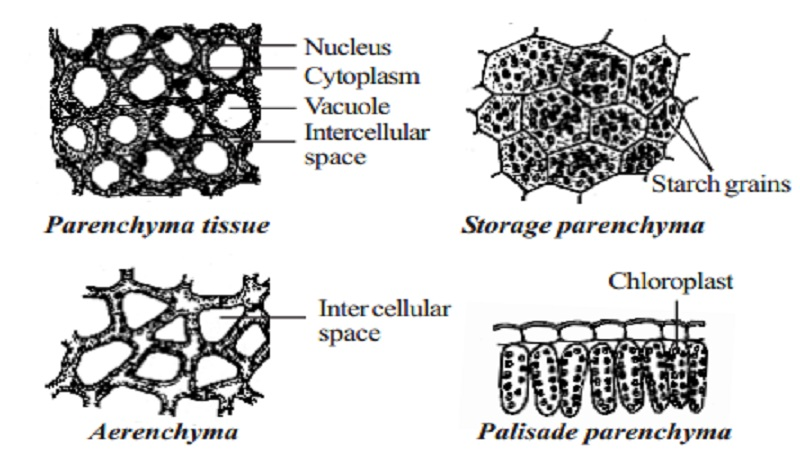 Permanent Simple tissue Types : parenchyma, collenchyma and sclerenchyma