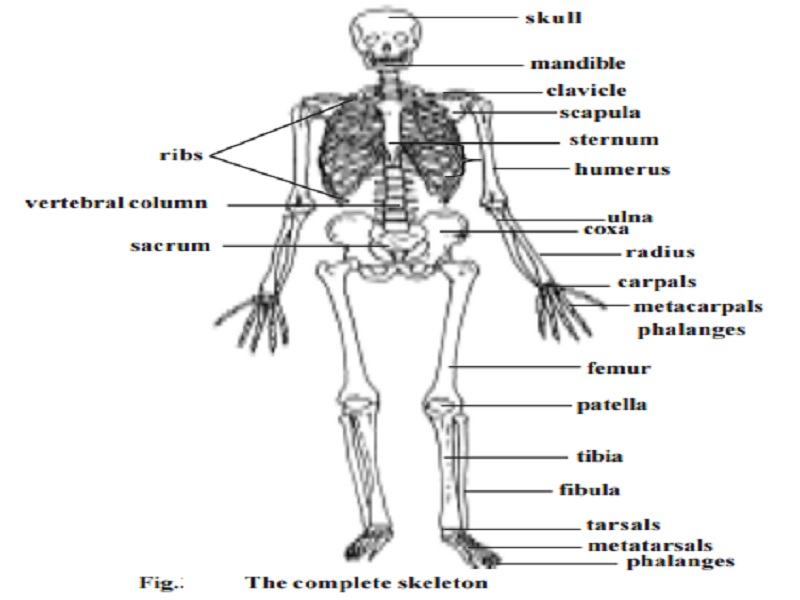 human skeletal system - study material lecturing notes assignment, Human Body
