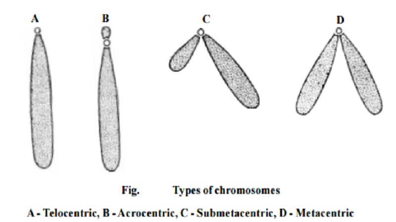 Chromosomes of Animal Nucleus or Human Nucleus
