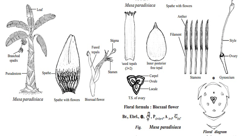 Botanical description and Economical importance of Musa paradisiaca