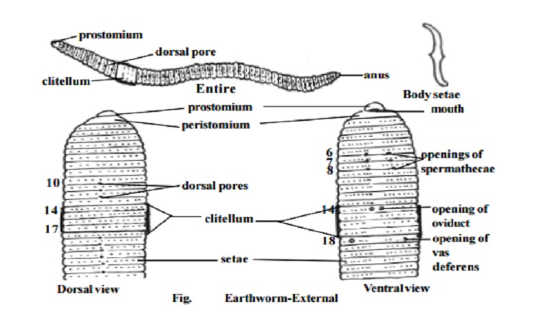 Earthworm : External features , External apertures