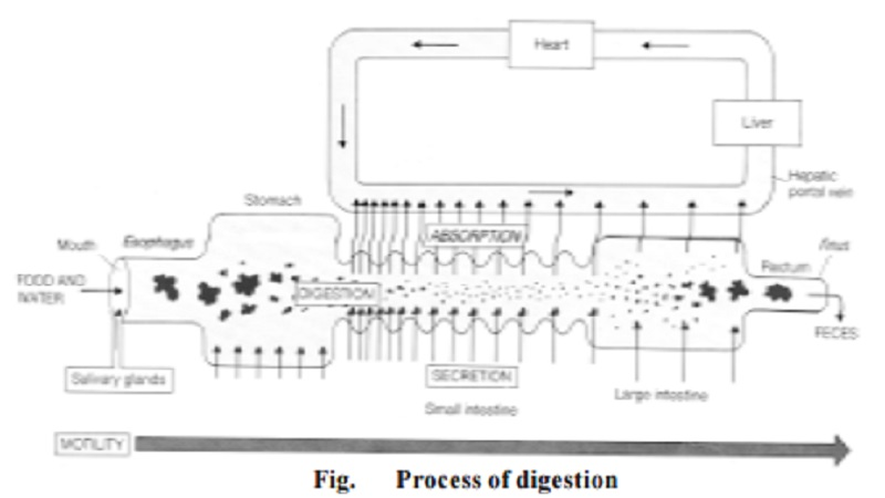 The digestive system and The process of digestion