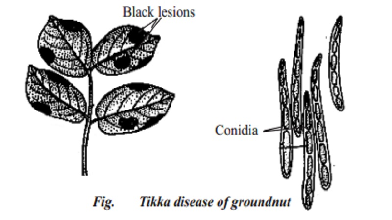 Plant Tikka disease in Groundnut or peanut - Arachis hypogea