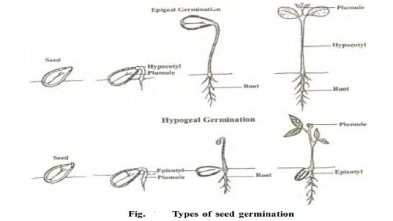 Types of seed germination : Epigeal, Hypogeal germination, Vivipary