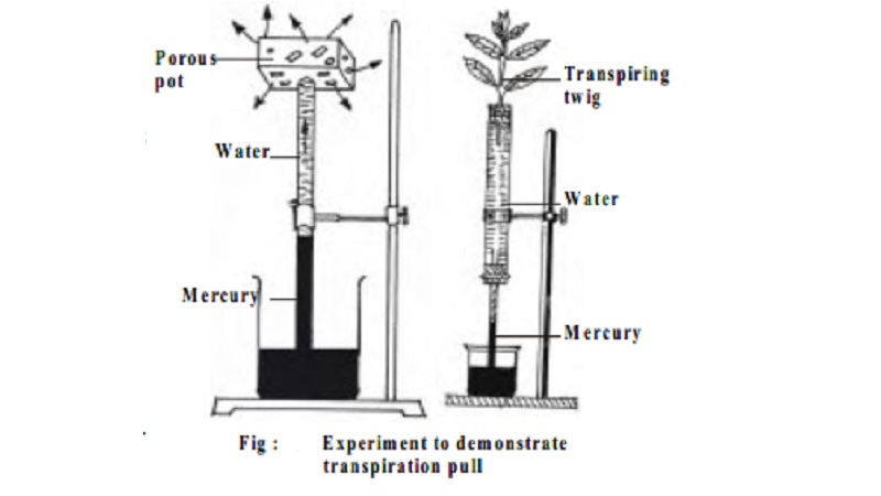 Transpiration Pull Theory in plant water transport