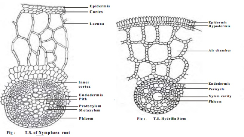 Morphological and Anatomical adaptations of Hydrophytes