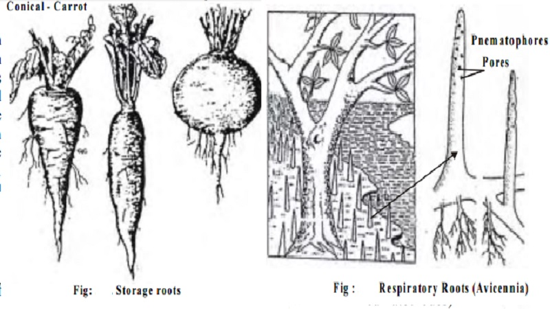 Root Modifications for Taproot, adventitious roots