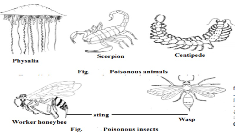 Poisonous Organisms : Physalia, Scorpion, Centipede, Honey bees and Wasps, Poisonous fishes, Poisonous snakes