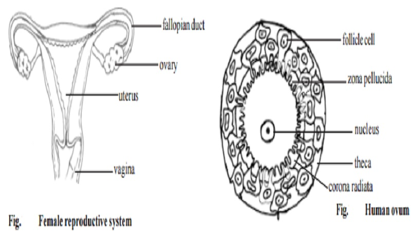 Functioning of female reproductive system