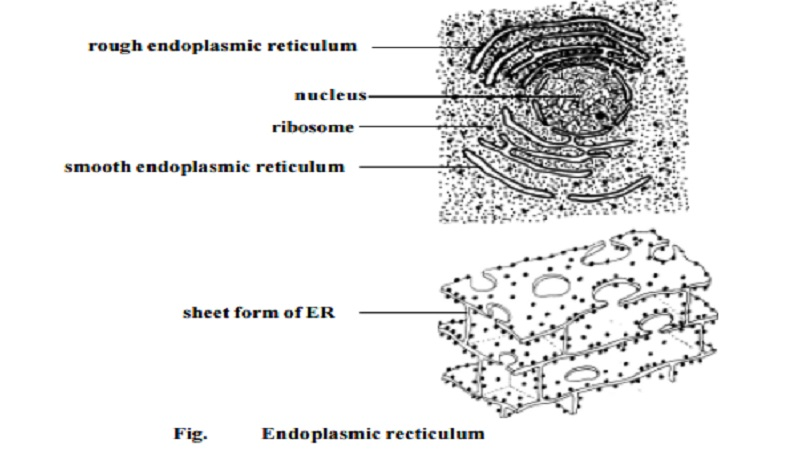 Endoplasmic Reticulum (ER) and Function of Endoplasmic Reticulum