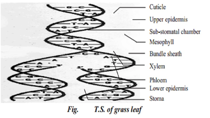 Anatomy of a monocot leaf - Grass leaf