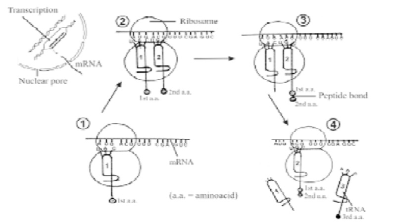 Characteristics of genetic code and Central dogma of molecular biology