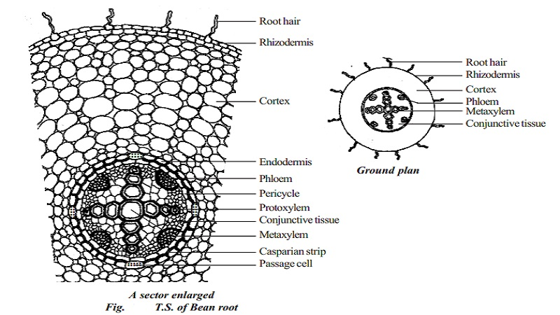 primary structure of dicotyledonous root