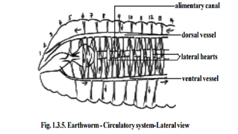 earthworm - circulatory system