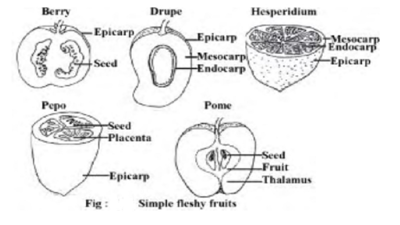 Simple fleshy fruits : baccate,drupaceous - Berry, Drupe, Hesperidium, Pepo, Pomo
