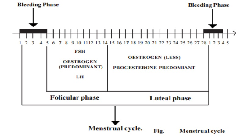 Female Menstrual cycle - 28 days