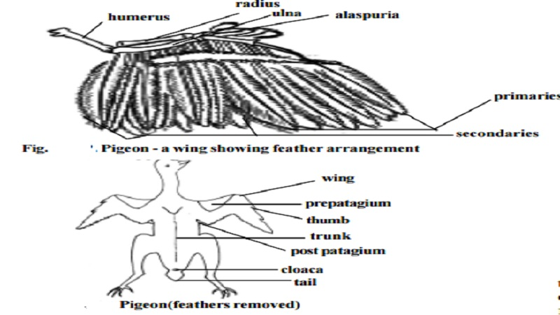 Pigeon : The wings