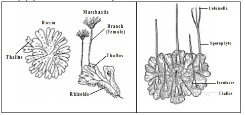 Bryophytes : Salient and Distinguishing features of Bryophytes