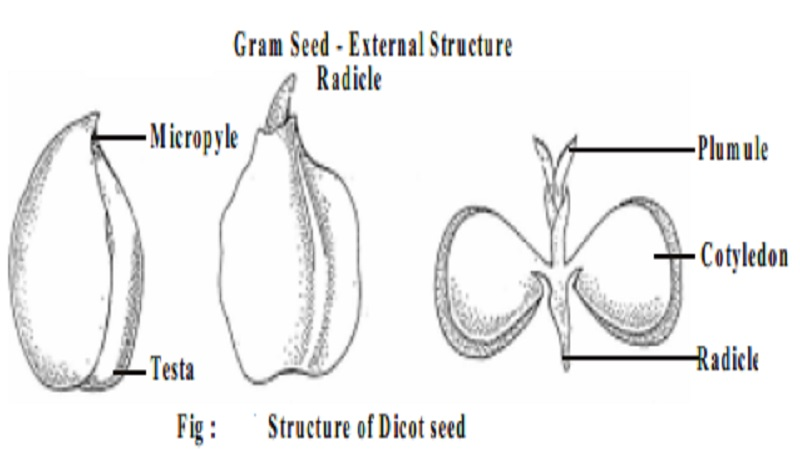 Structure of gram seed