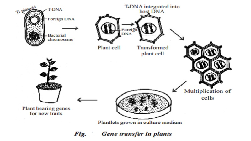 Gene transfer in plants