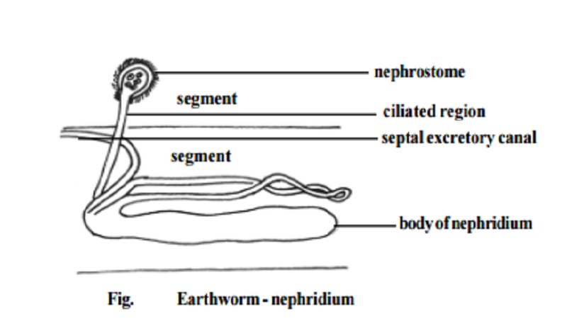 diagram of earthworm excretory process earthworm excretory system study material lecturing