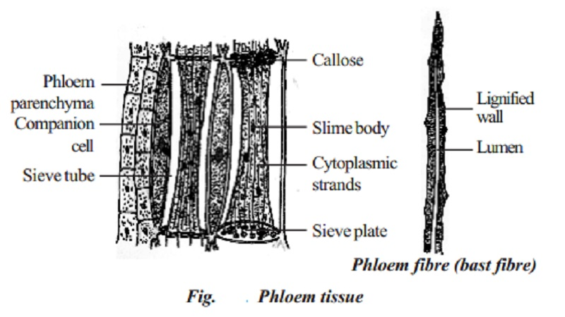 Phloem : Sieve elements, Companion cells, Phloem parenchyma, Phloem fibres