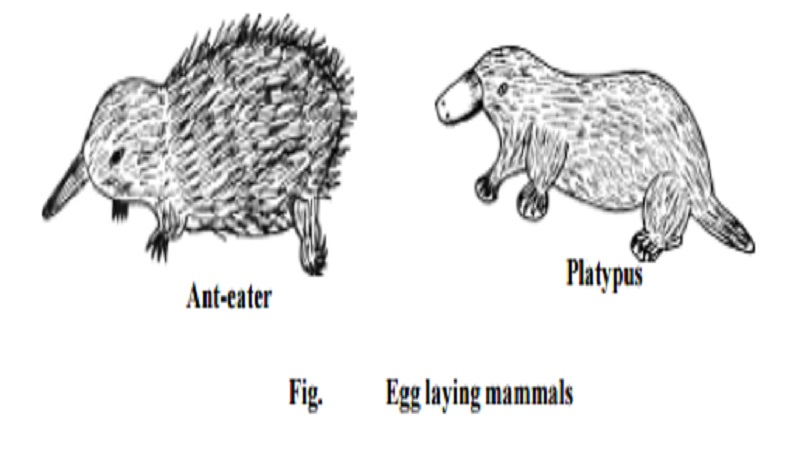 Monotremata, Marsupialia and Placentalia -Classification of Class : Mammalia  - Reptilia - sub  phylum - Tetrapoda