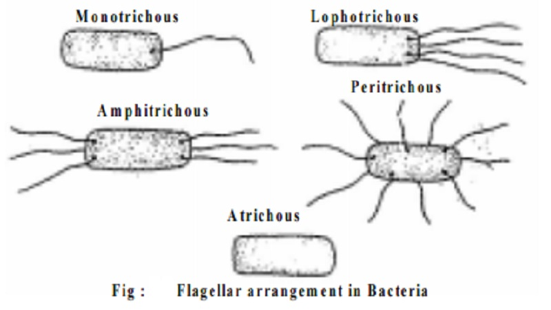 Flagellation in Bacteria