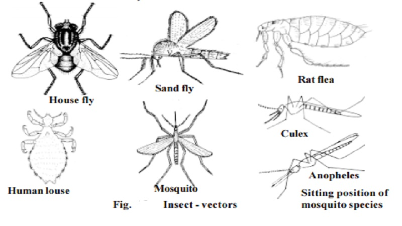 Disease causing organisms - Vectors : Housefly - Musca domestica, Sand flies - Phlebotomus papatasi, Rat fleas - Xenopsylla cheopis, The human louse - Pediculus humanus, Mosquitoes : Anopheles, Culex, Aedes sp