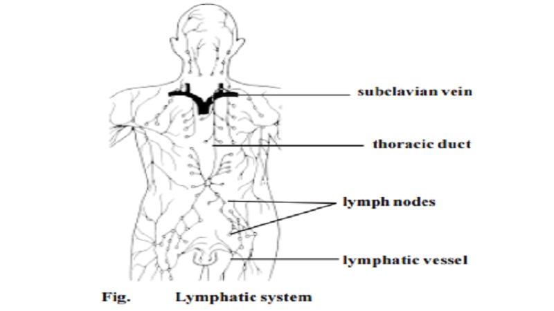 Human Lymphatic system - Lymphoid cells and tissues, Thymus, Lymph nodes, Spleen,  Tonsils, The lymphatic circulation