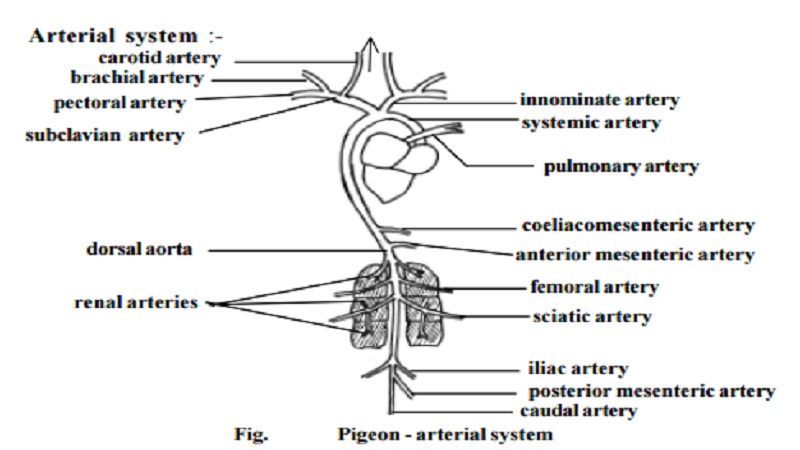 Pigeon - Circulatory system and Venous system