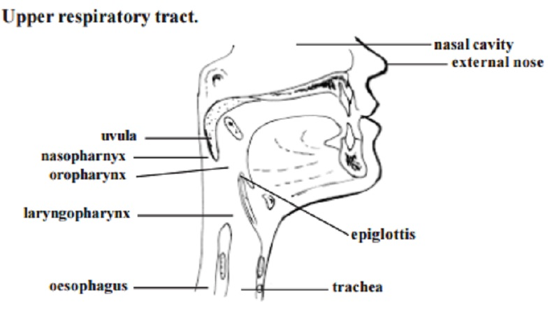 Human Respiratory System With Diagram Nasal Cavity Pharynx
