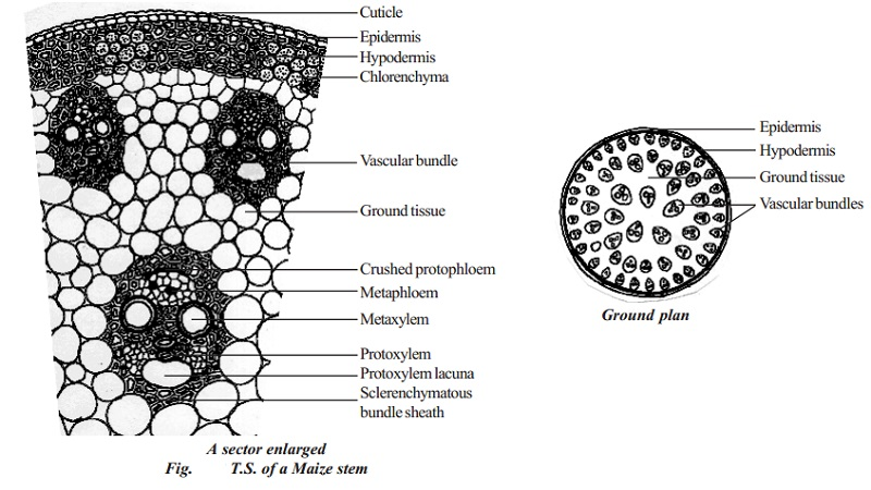 Primary structure of monocot stem - Maize stem