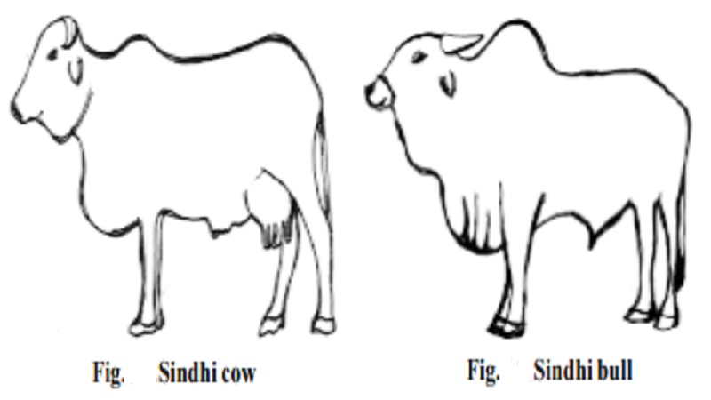 Milch breeds (or) Dairy Cattle breeds : Sindhi (Red Sindhi, Red Karachi), Gir (Kathiawarhi, Surti)
