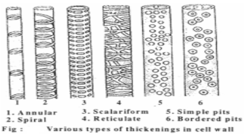 Formation of the cell wall
